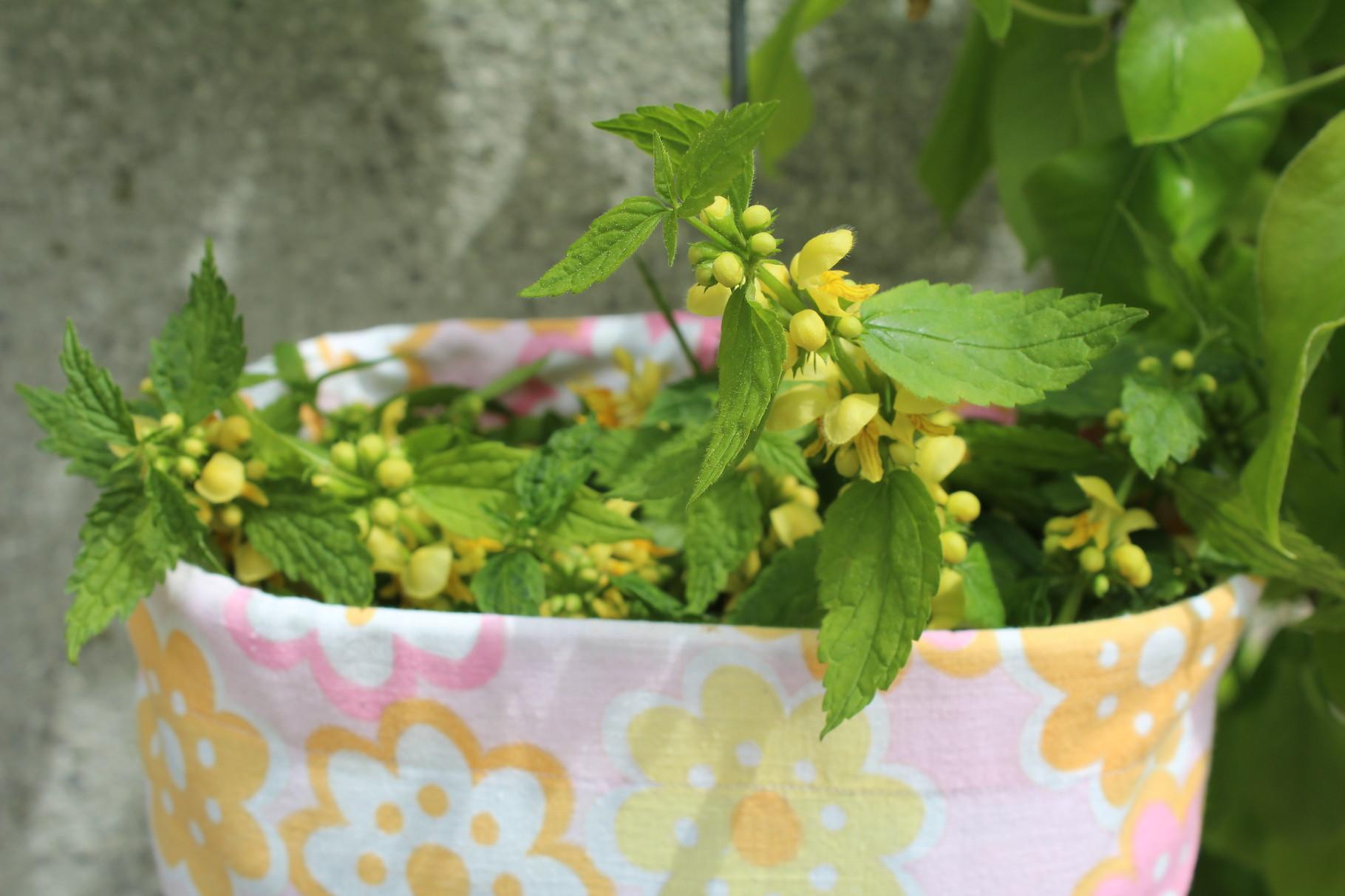 Ernte aus dem Klostergarten, die Goldnessel