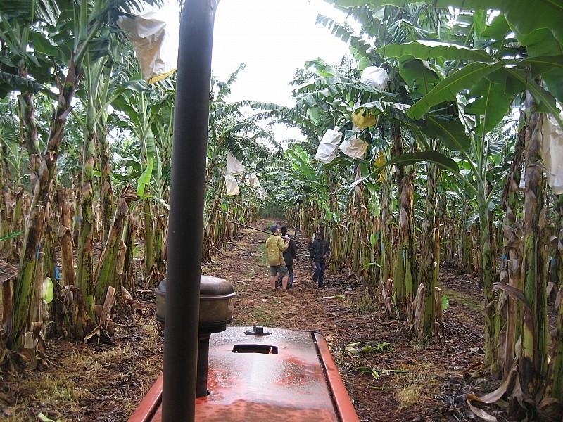 """....und heute die """"großen"""" Bananenbäume im Regen"""