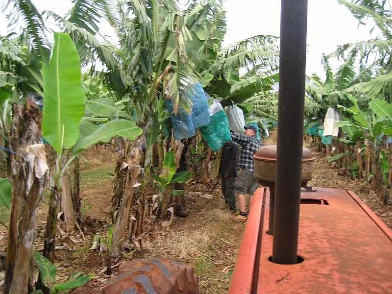 """....zuerst die """"kleinen"""" Bananenbäume"""