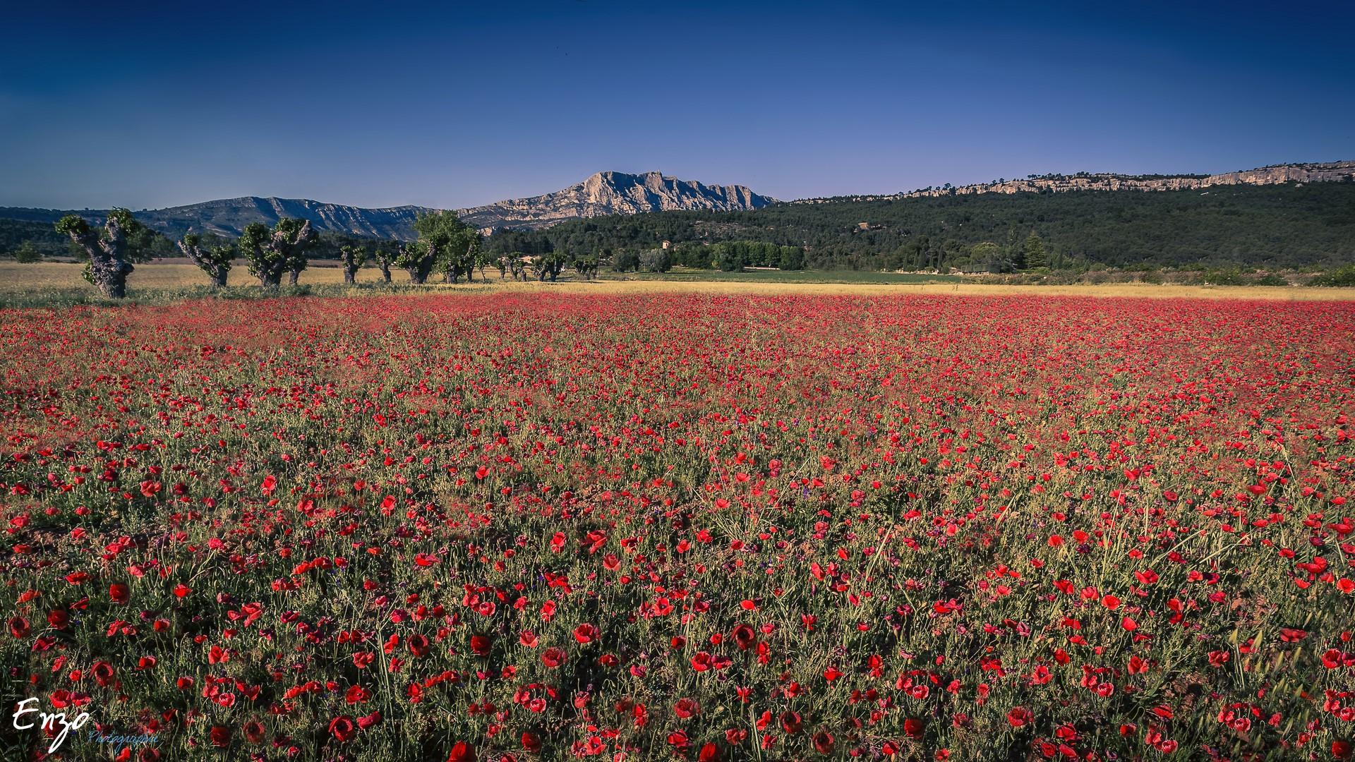 Champ de coquelicot au pied de la sainte victoire - Aix en provence