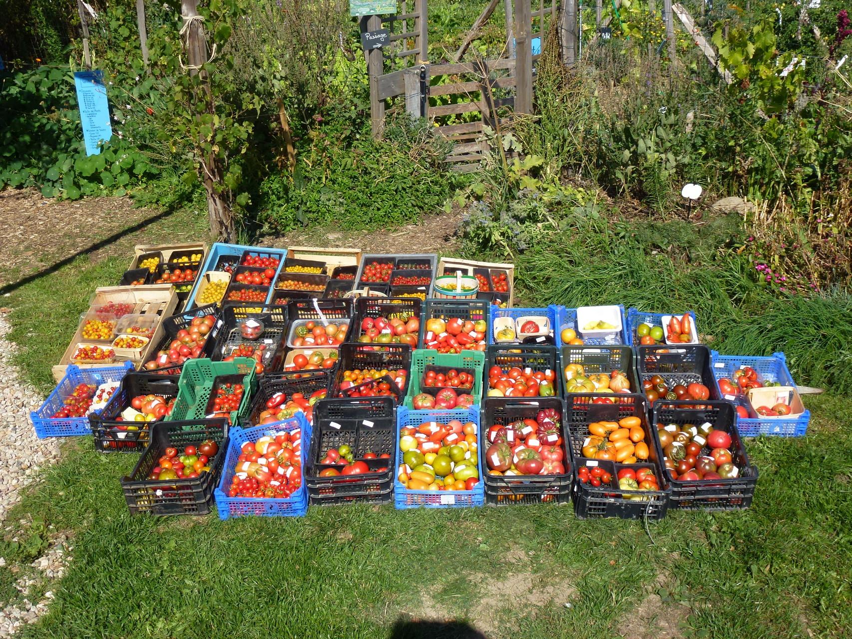 Collection de tomates anciennes au jardin bio