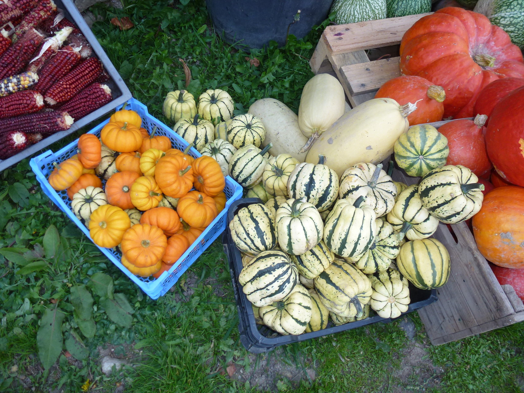 Collection de courge : patidou, jack be little, butternut, potimarron