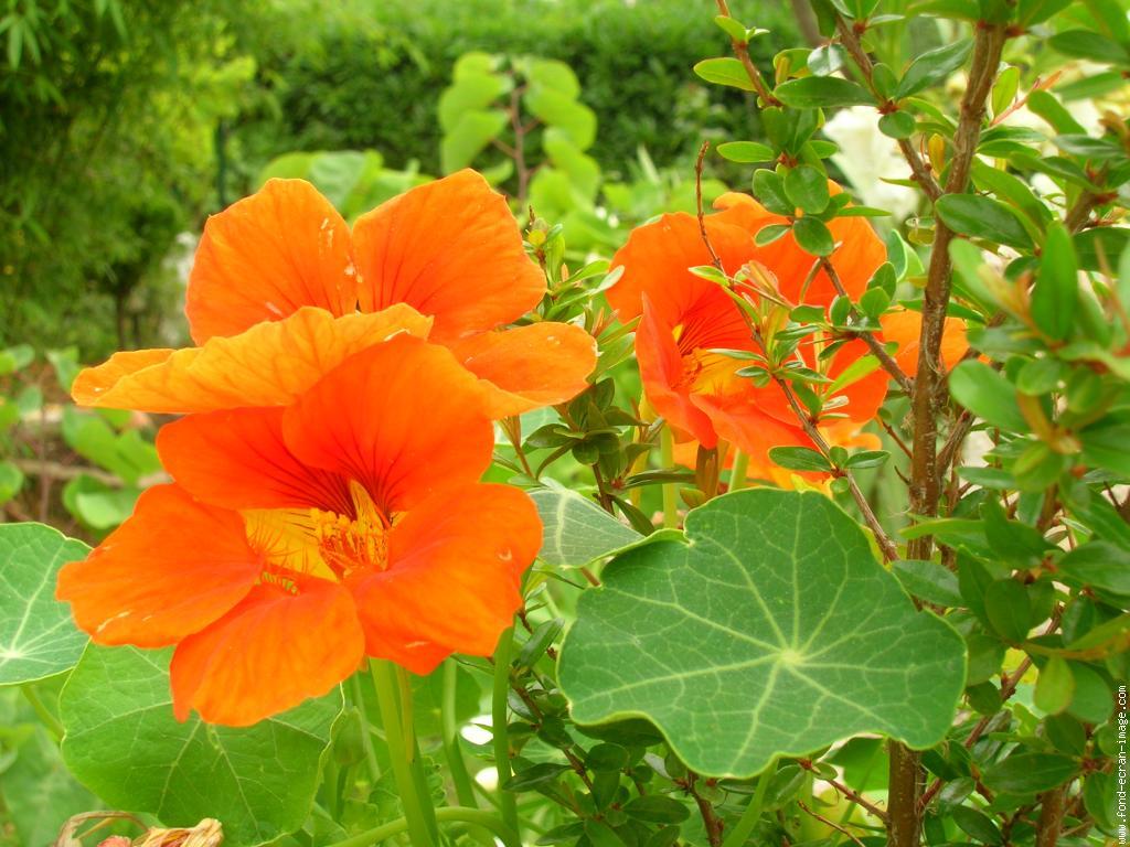 Les fleurs comestibles dans un jardin permaculture