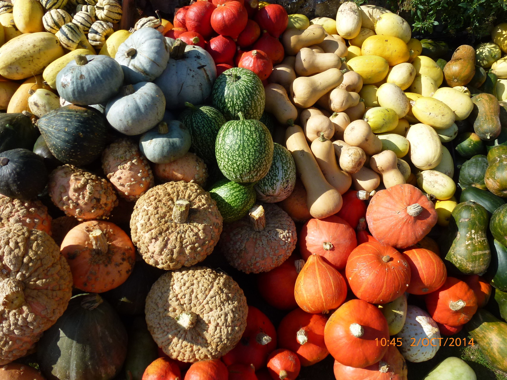 Collection de Courge