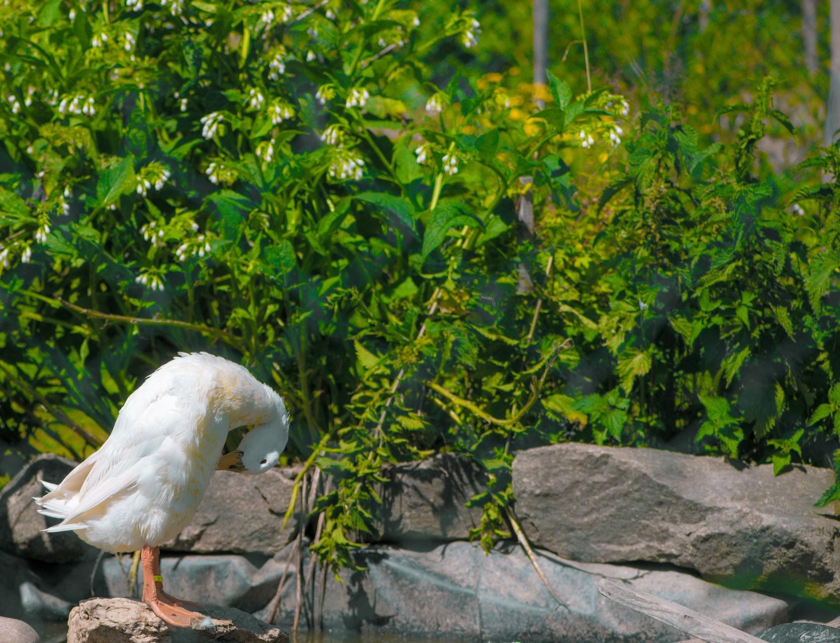 """Les canards """"coureur indien"""" dans un jardin permaculture"""