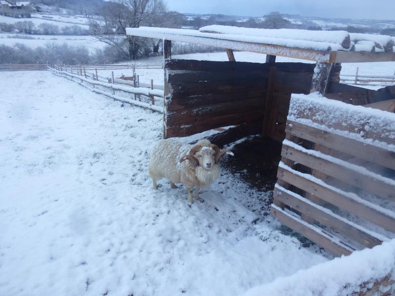 Cosmos, le mouton ouessant blanc