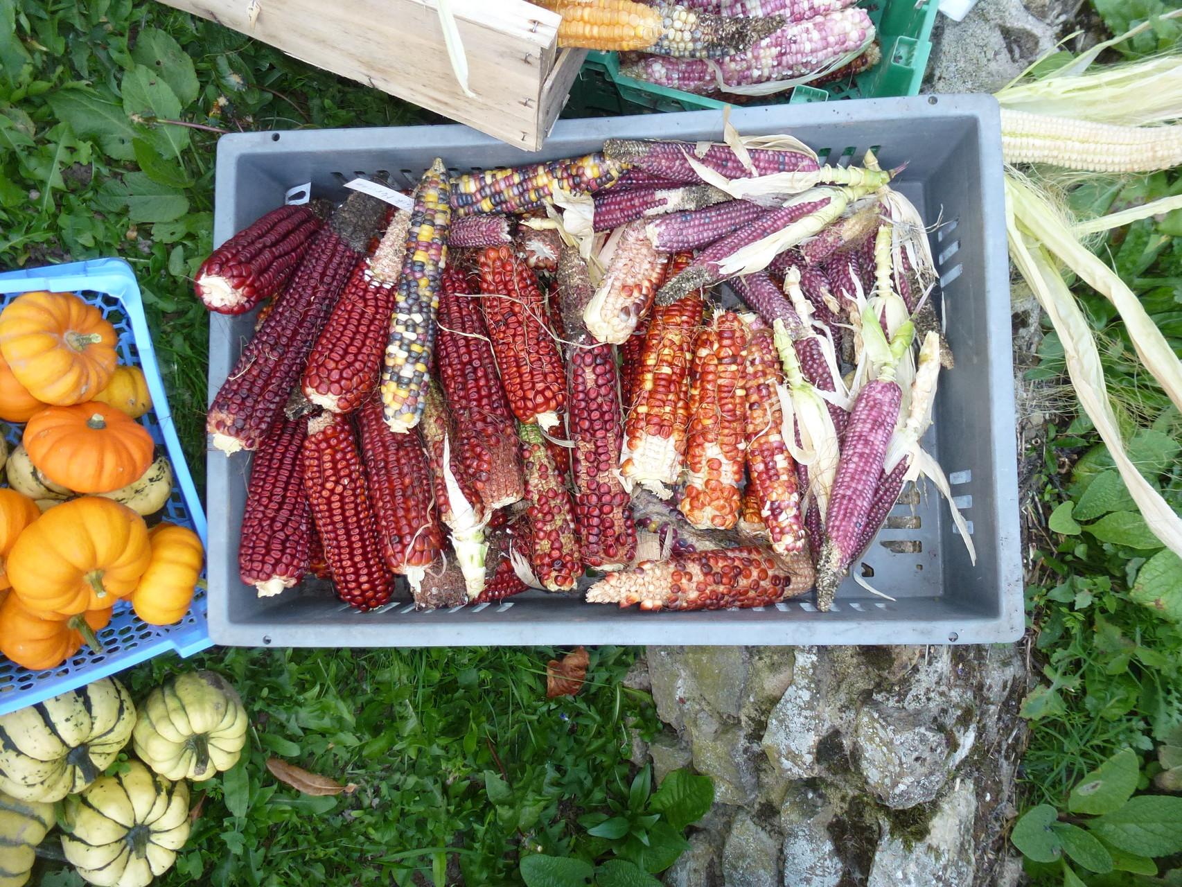 Maïs fraise pop corn du jardin Alônsys