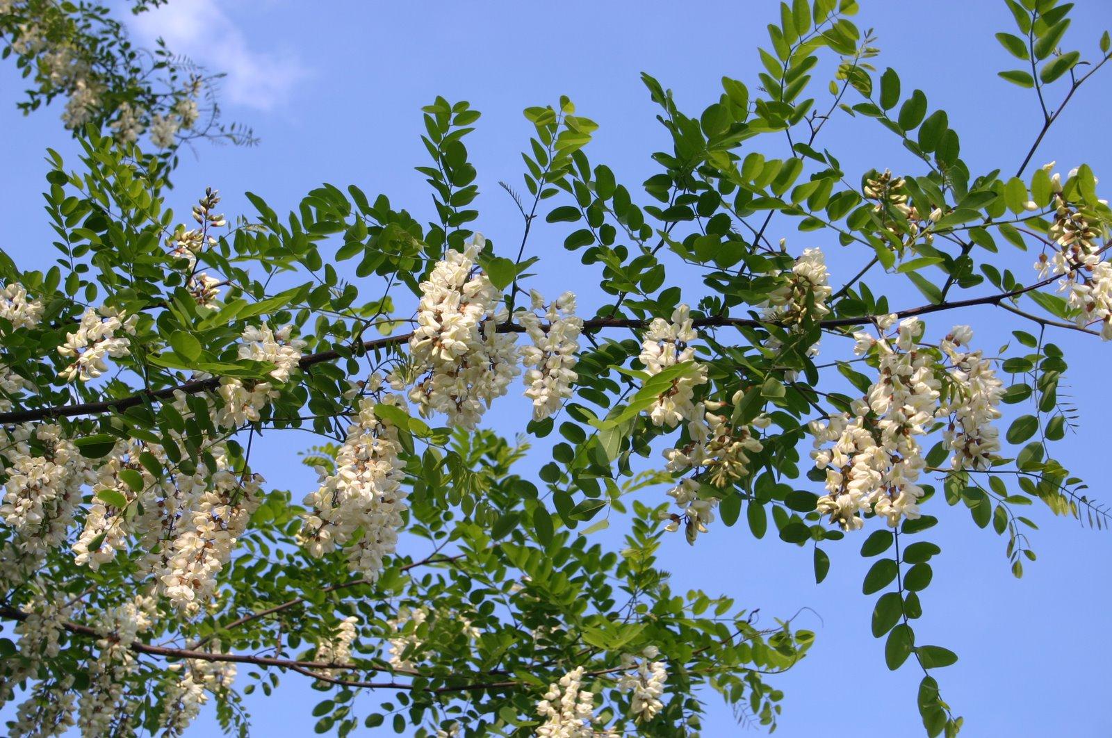 Cueillette sauvage et beignets de fleurs d'acacia