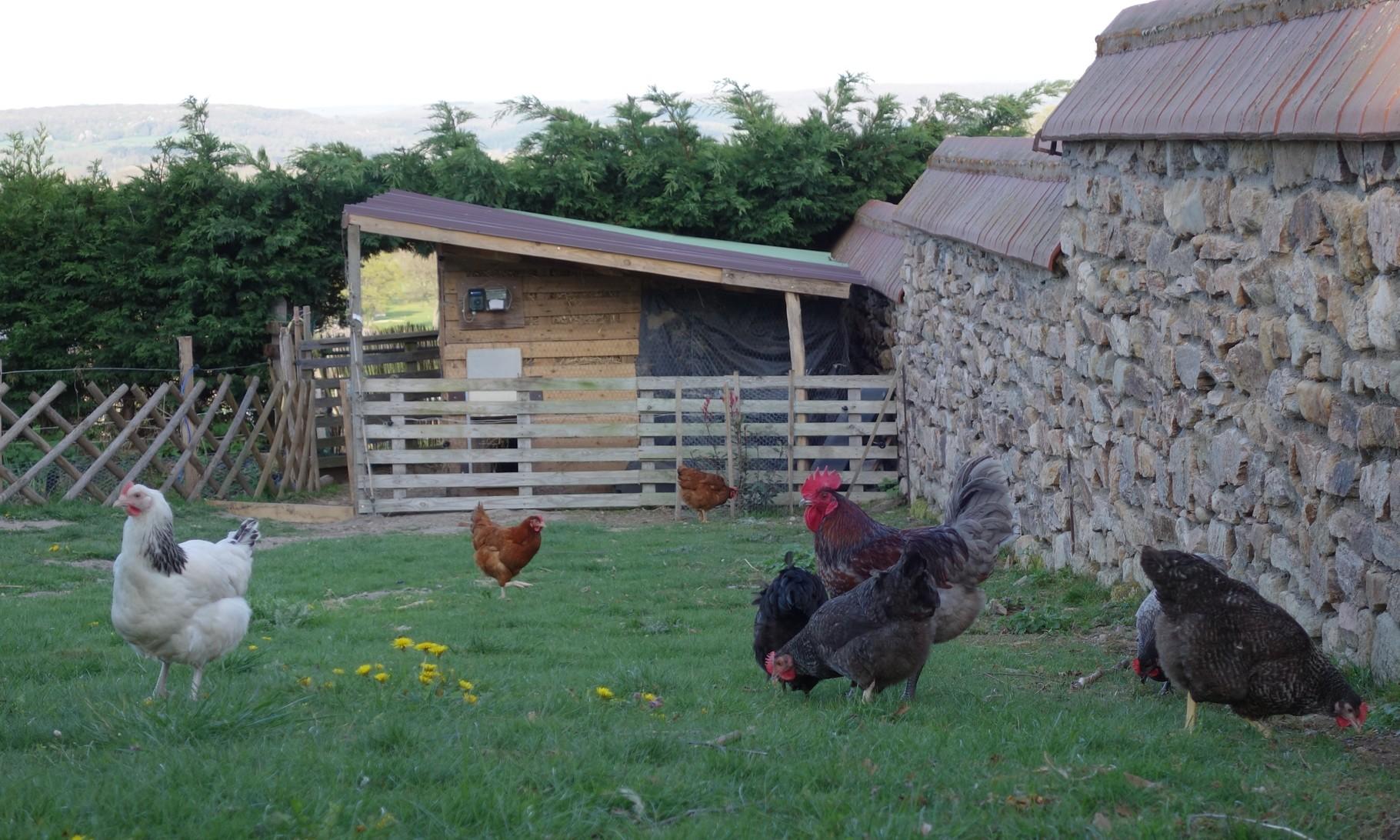 Les poules dans un jardin permaculture