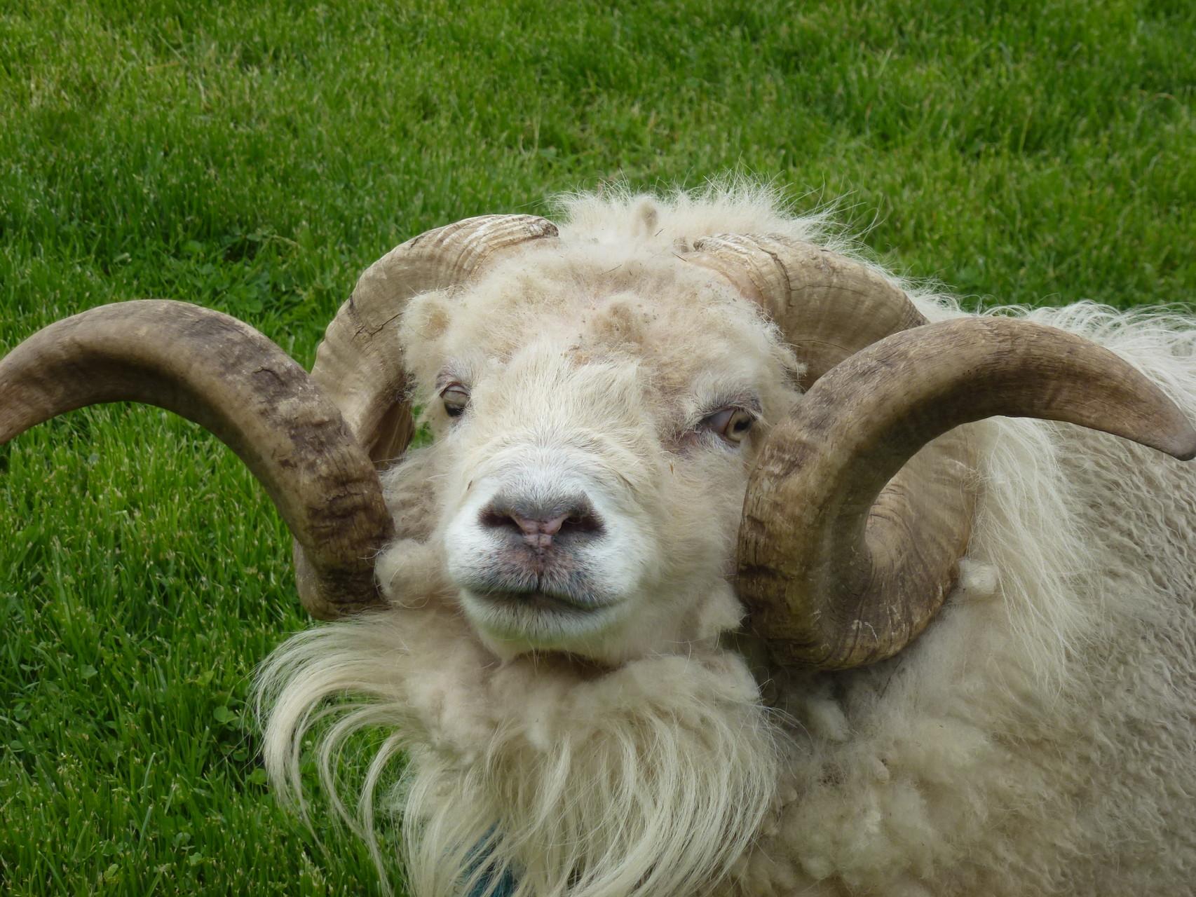Cosmos, le mouton ouessant de la ferme pédagogique