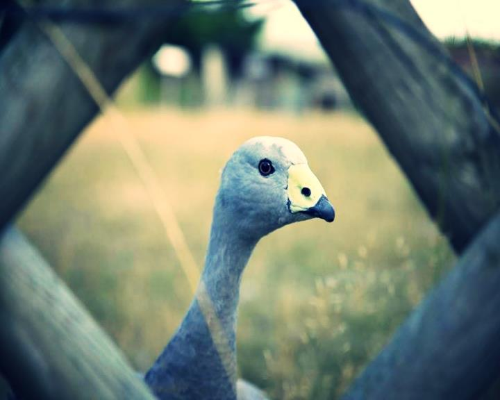 """Découvez aussi notre ferme pédagogique et nos drôles d'animaux - l'oie """"ZO"""""""