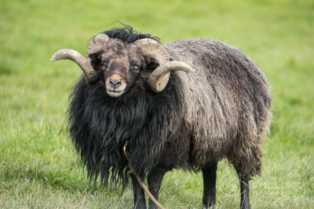 Mouton ouessant de la ferme pédagogique Alôsnys