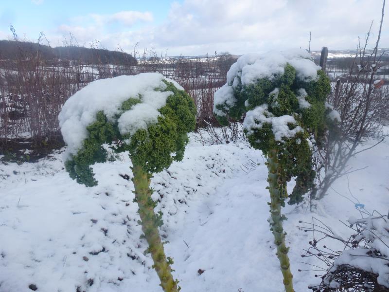 Les choux kale du jardin