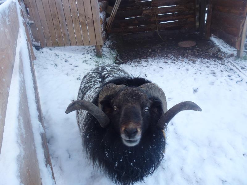 Orion le mouton ouessant