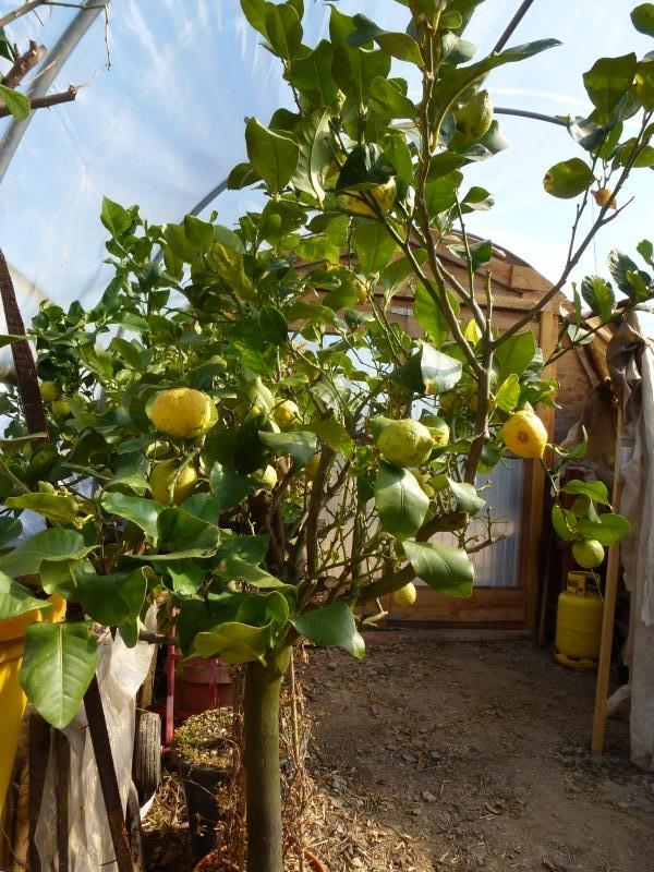 Le poêle de masse à protéger nos citronniers