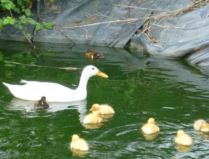 Les Canetons et leur maman