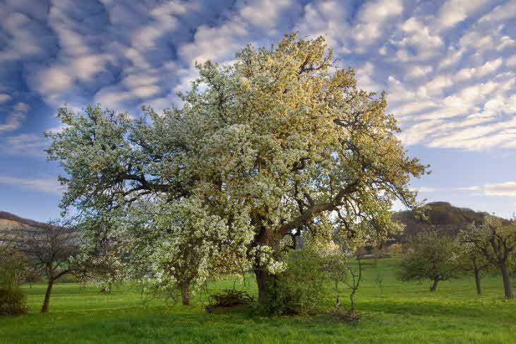 Birnbaum. Foto NABU B.E.