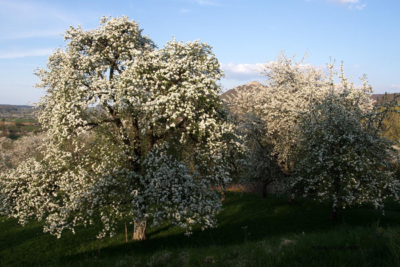 Birnbaumblüte Foto NABU B.E.
