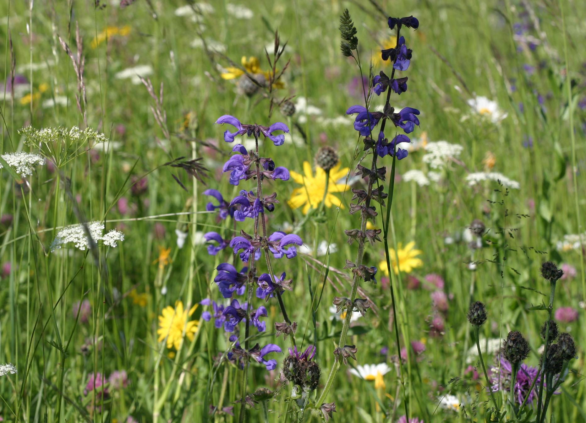 Blumenwiese. Foto NABU B.E.