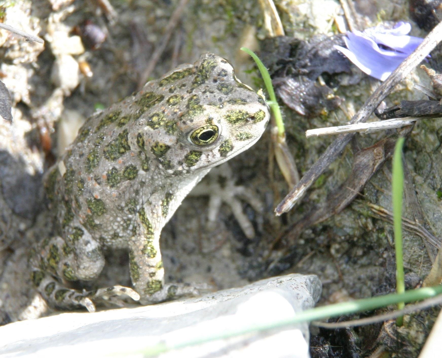 Junge Wechelkröte Foto NABU B.E.