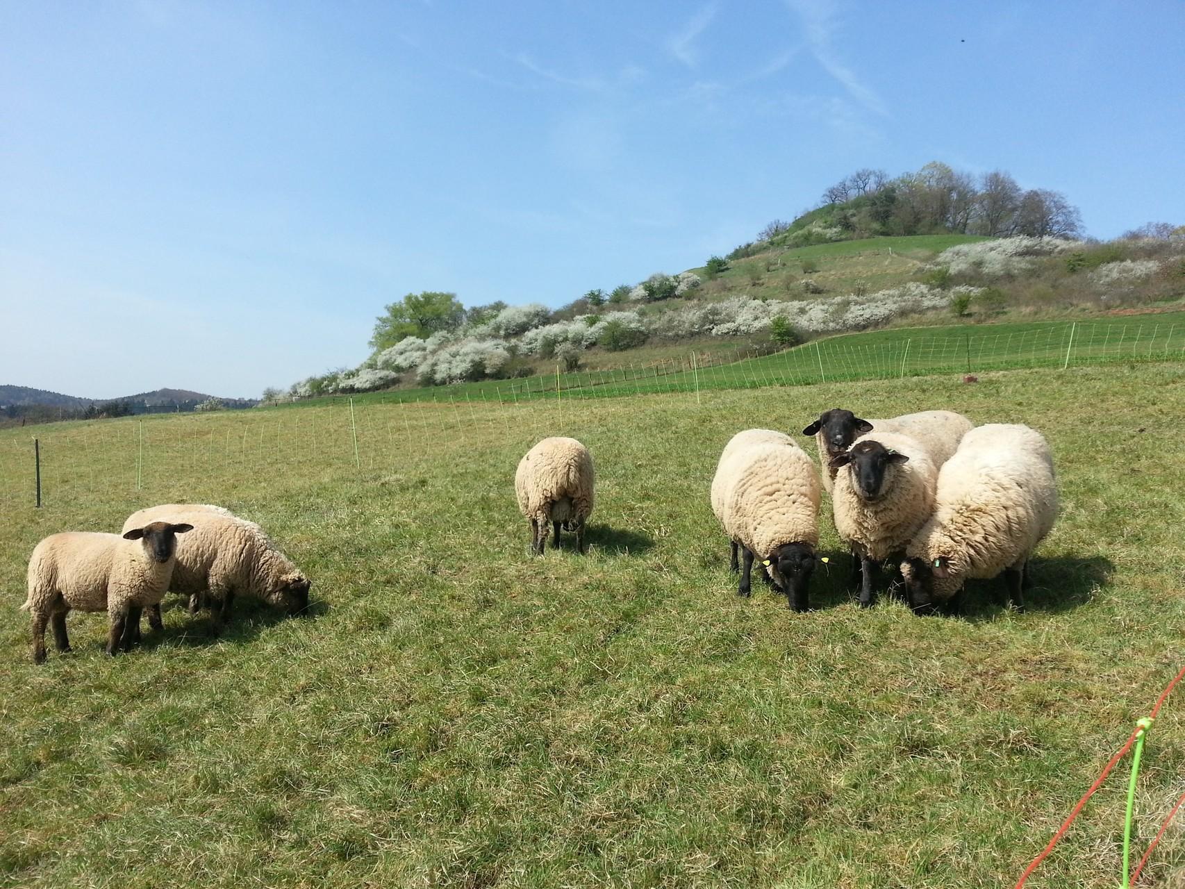 Grasende Schafe am Hügel hinter dem Gebäude