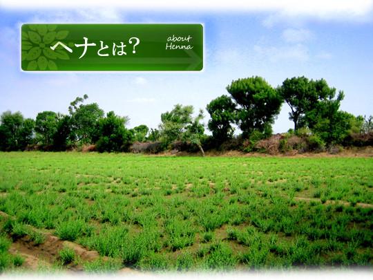 ラジャスタン州ソージャット地方のヘナ畑 ( 新芽 )