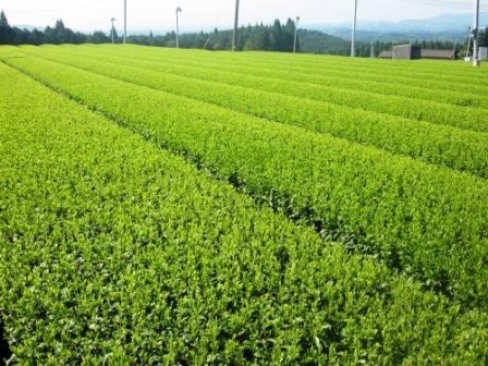 ~新茶畑~