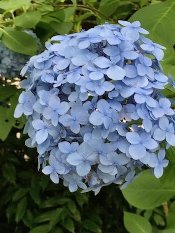 明月院ブルーの見事な紫陽花