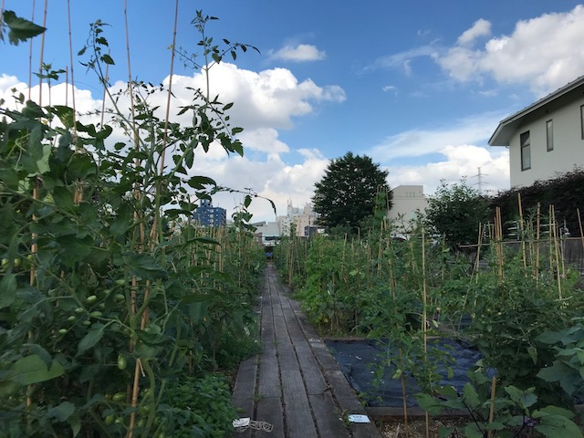 夏野菜、こんなに大きく成長中!