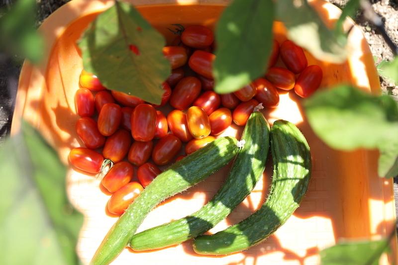 ほんの少し赤く色づき始めたミニトマト