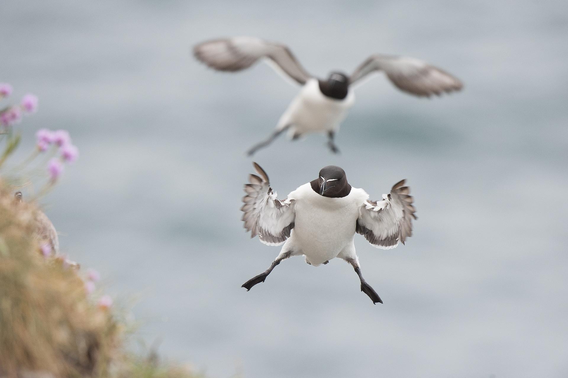 Pingouin Torda_Adam Michael