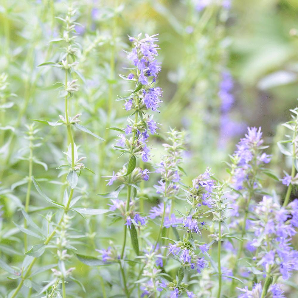 猛暑でも涼しげな花を咲かせるヒソップ