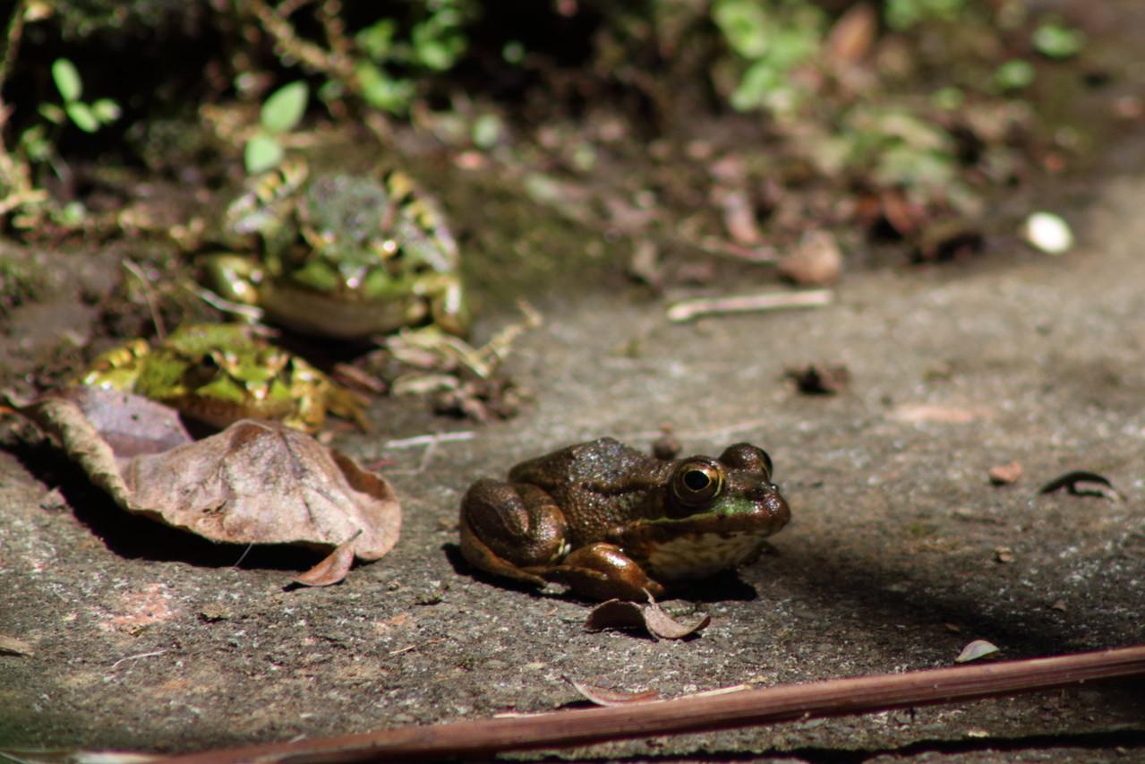 grenouilles (vertes?) du Parc Municipal de Angra do Heroismo - 01aout13 @ Florian Bernier