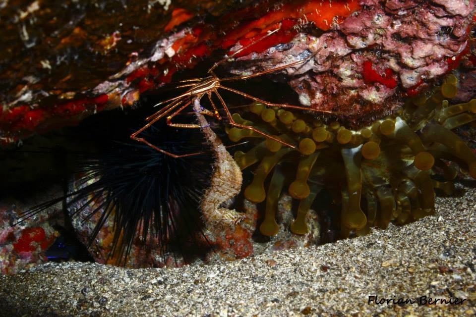 Crabe flèche mangeant un hippocampe - Canaries Oct 14 © Florian Bernier