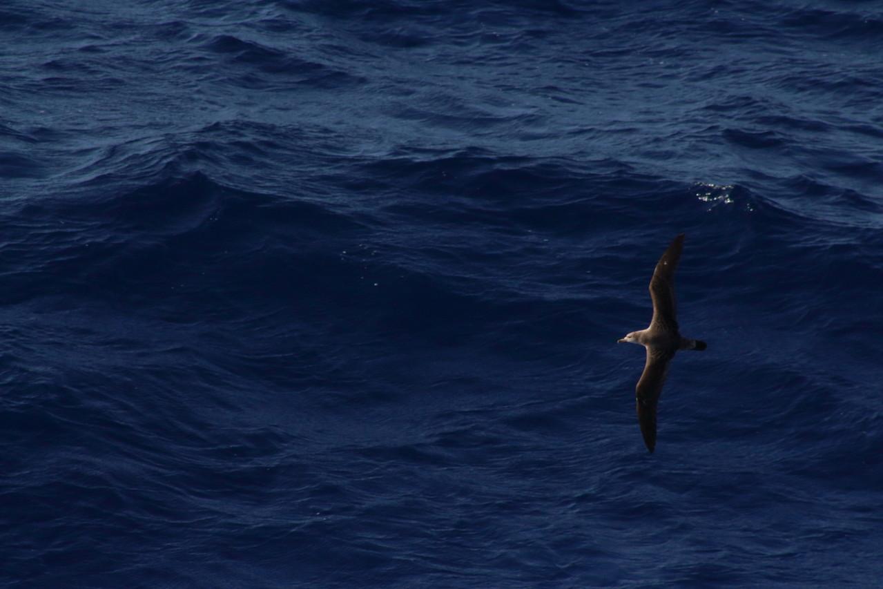 puffin cendré, cousin de l'albatros - 01aout13 @ Florian Bernier