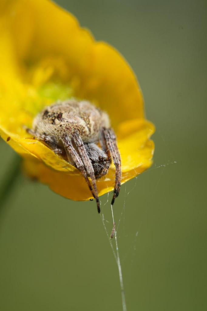 De son perchoir, l'araignée guette, prête à bondir sur le moindre petit insecte passant à sa portée. © Florian Bernier - Mai 2009