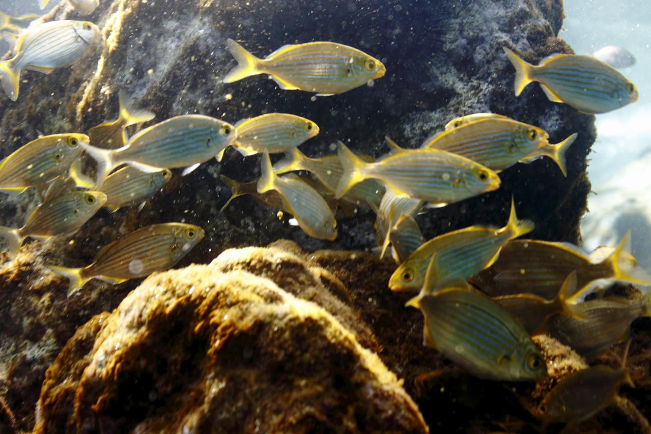 Banc de saupes en eau peu profonde - Eté 2013 © Florian Bernier