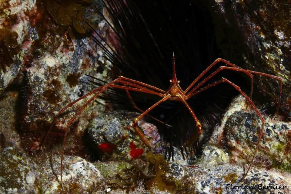 Crabe flèche - Canaries Oct 14 © Florian Bernier