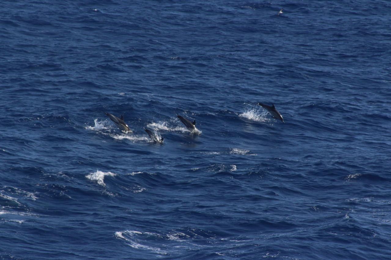 Premiers dauphins, Delphinus delphis, dauphin commun à bec court - 01aout13 @ Florian Bernier