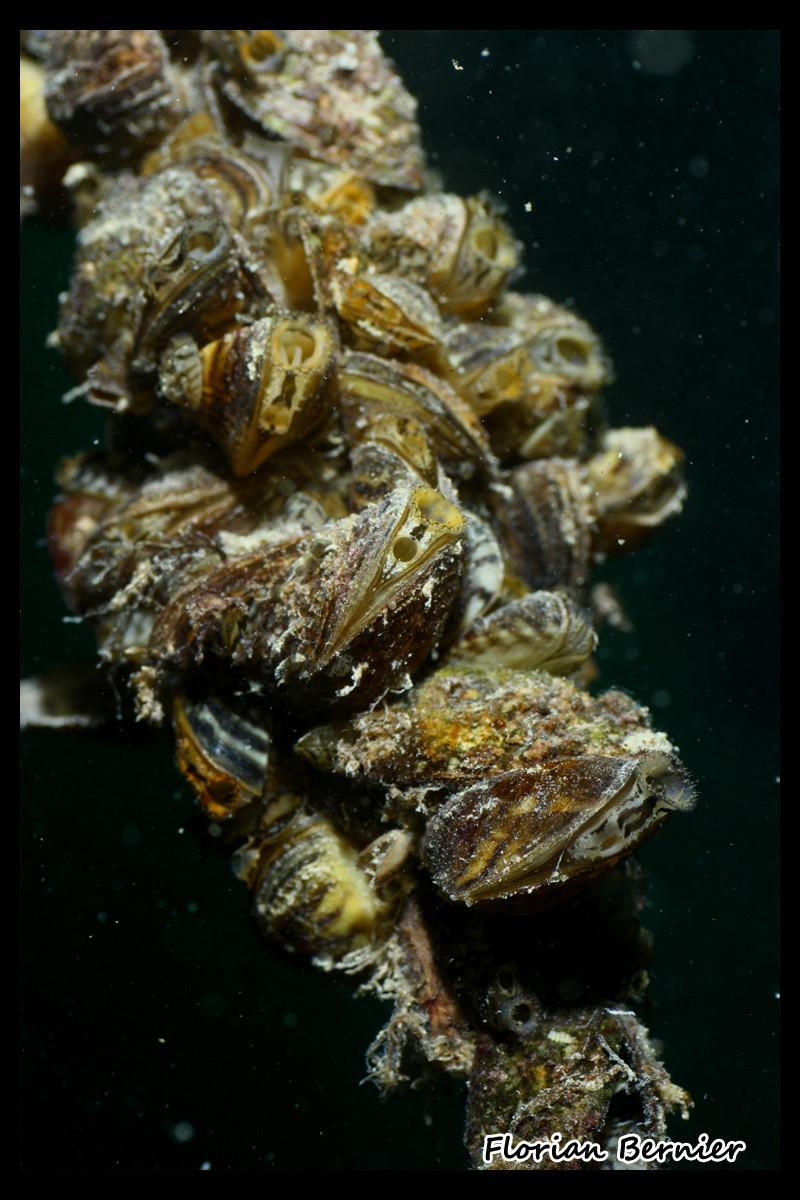 Moules zébrées - Photo animalière non retourchée  © Florian Bernier 13sept14