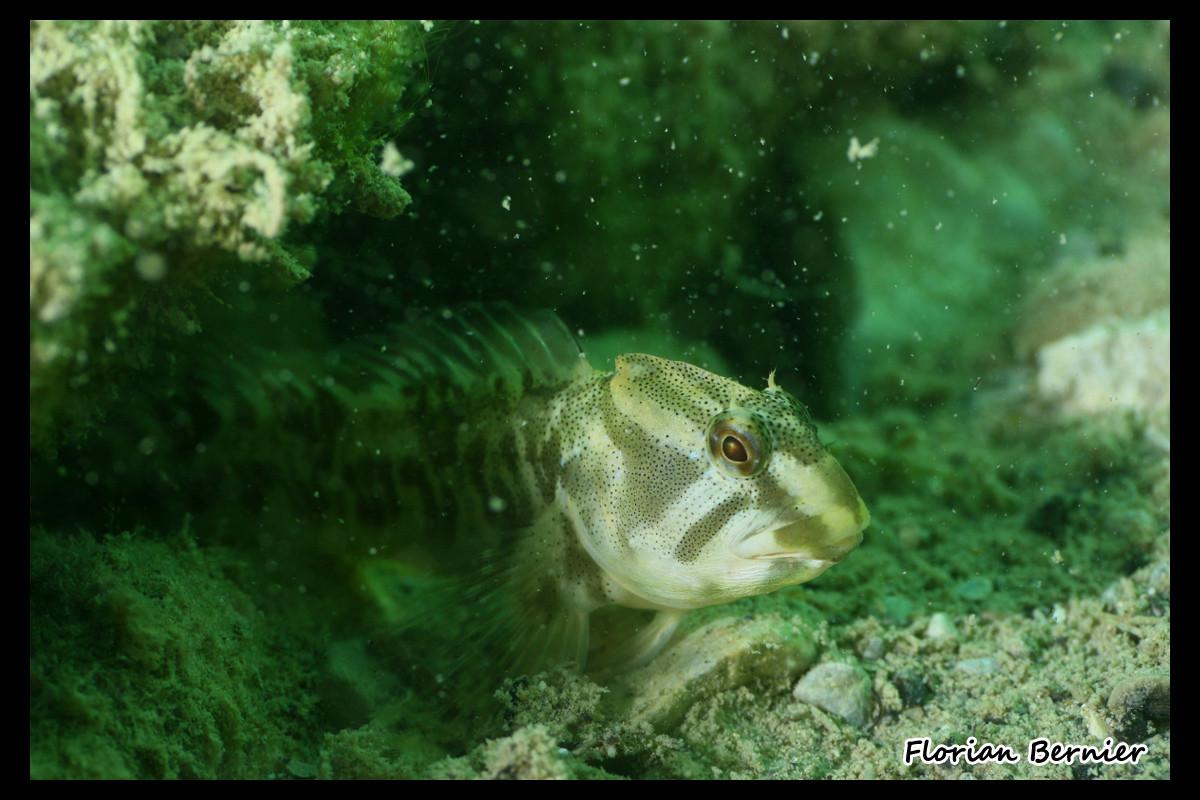Blennie fluviatile - Photo animalière non retouchée  © Florian Bernier 13sept14