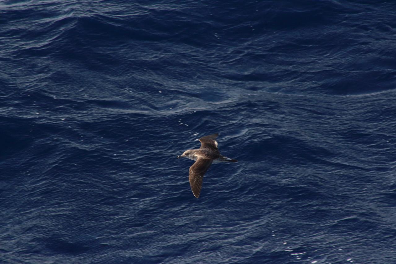 Puffin cendré planant au dessus des vagues - 01aout13 @ Florian Bernier