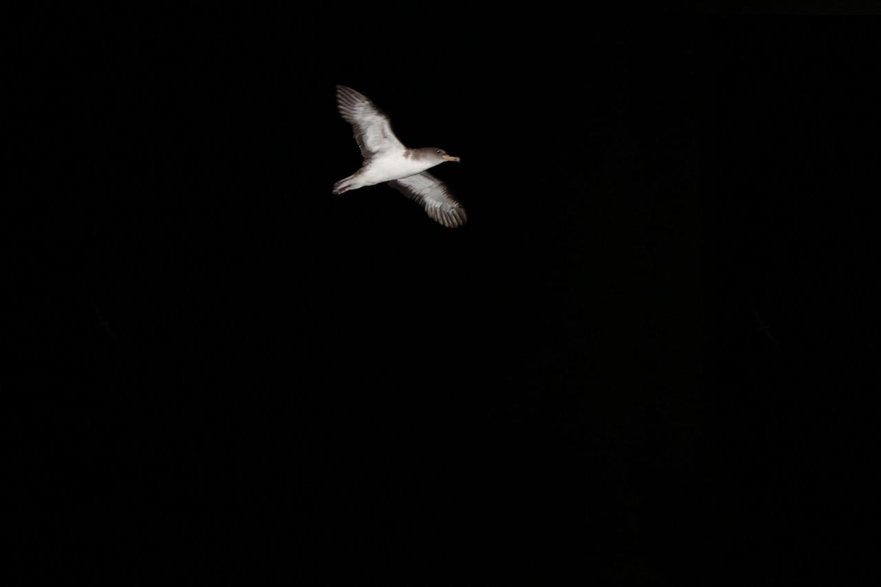 Puffin cendré rentrant au nid - Eté 2013 © Florian Bernier