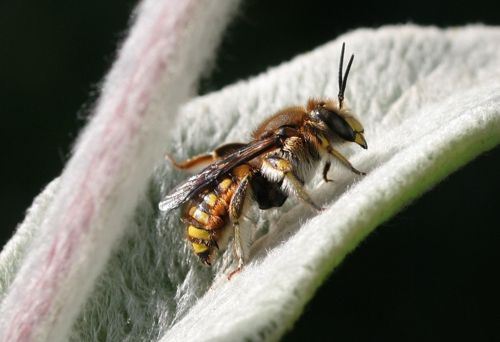 Männchen der Garten-Wollbiene