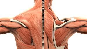 Il muscolo fa dimagrire