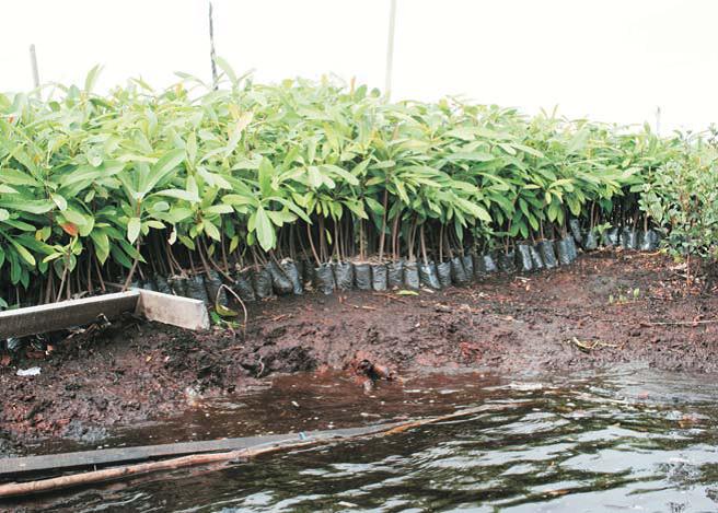 Wetlands Inter インドネシア・プログラムの泥炭湿地へジュルトン植林