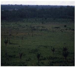 牧場拡大で原生林破壊 (ブラジル/パラ州で 撮影*HUTAN Group西岡/1989年)