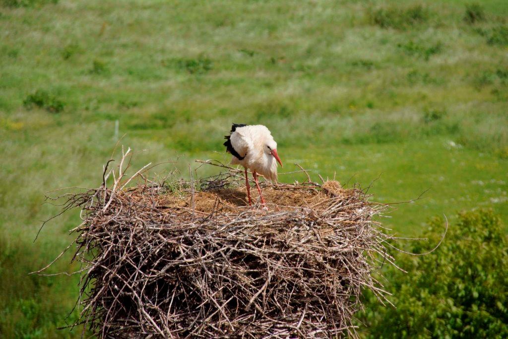 Ein Storch am Nest. Der Jungvogel ist unten noch zu erkennen