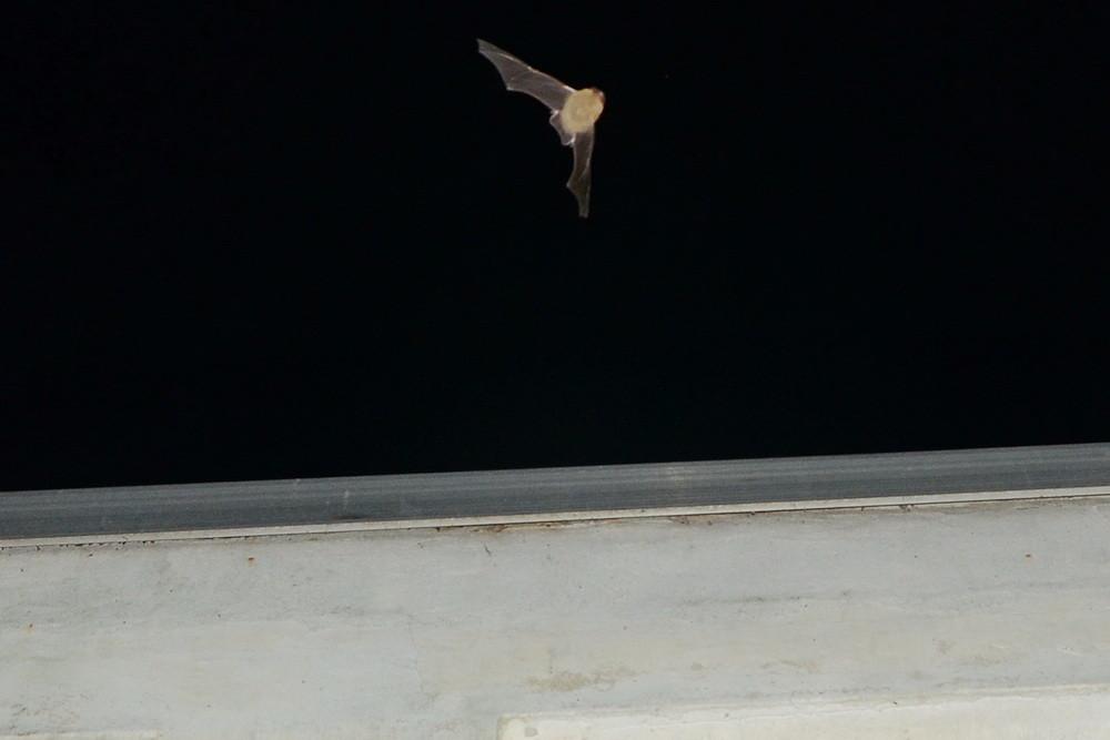 Ausfliegende Fledermaus aus dem Heizhaus (Dr. Thoralf Winkler)