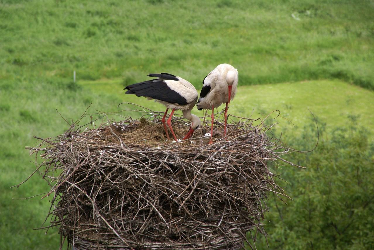 Das Brutpaar am Nest. Die Eier und ein Junges ist zu erkennen.